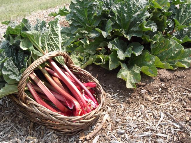 Crimson_Red_Rhubarb (1).jpeg